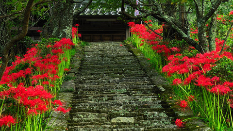 steps_of_red_spider_lily.jpg